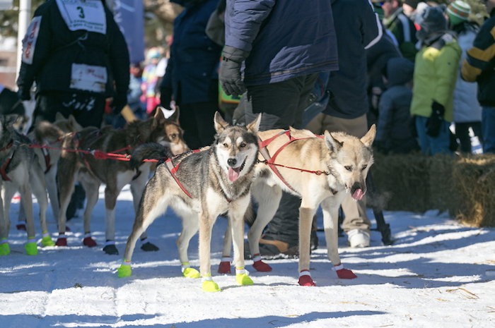 Dog sled team preparing for UP 200 in Marquette