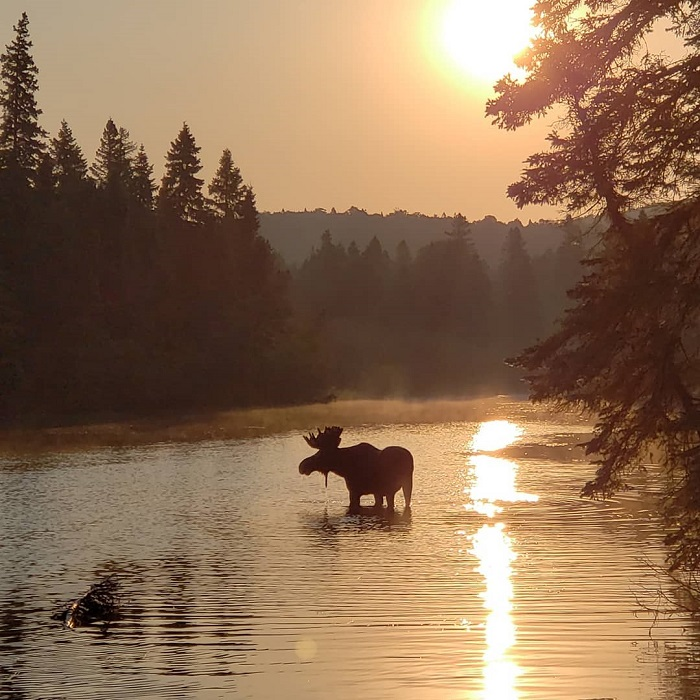 A Moose on Isle Royale