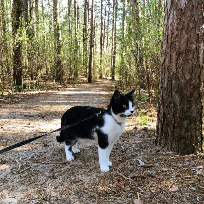 Ace the Cat on a trail at Provin Trails in Grand Rapids
